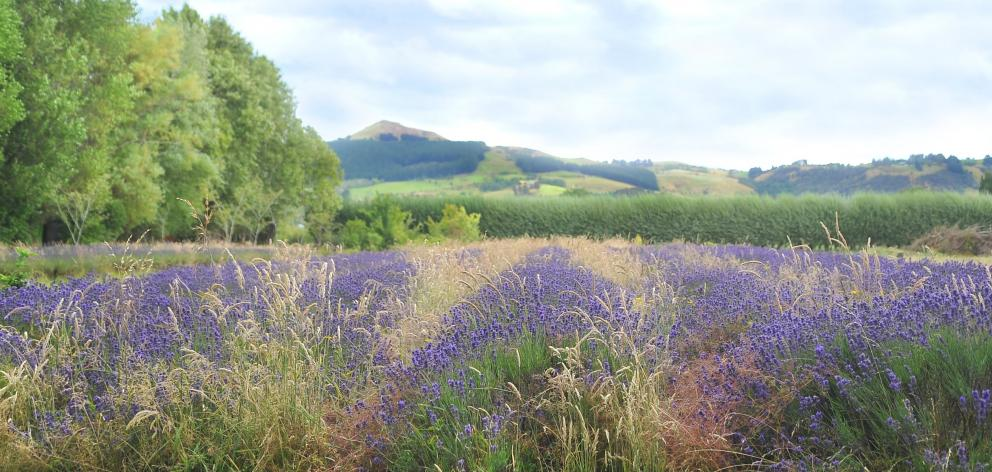 Arbordale lavender farm in Bush Rd has ceased growing lavender after 31 years. Photo by Christine O'Connor.