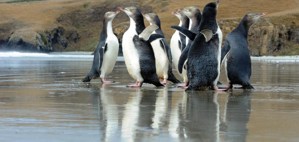 A group of  yellow-eyed penguins on Otago Peninsula. Photo: Craig Baxter.