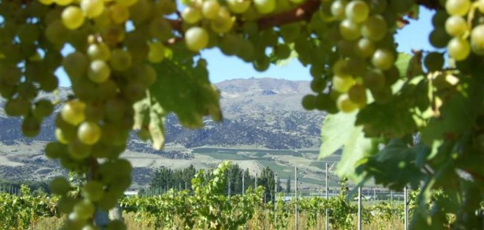 The unusually wet spring was followed by a cool summer and wet, cool autumn — not conducive to ripening the fruit, resulting in grapes being harvested later than normal. Photo: File