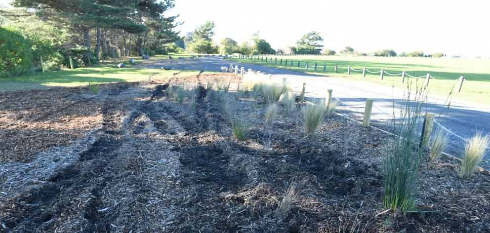 Flax and grass at Brighton Domain lies crushed after being run over by vandals. PHOTO: GREGOR...