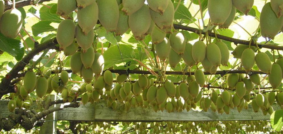 Kiwifruit_on_vine.JPG