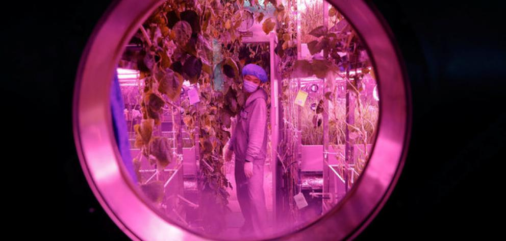 A volunteer checks on plants inside a simulated space cabin in which he temporarily lives with others as a part of the scientistic Lunar Palace 365 Project. Photo: Reuters