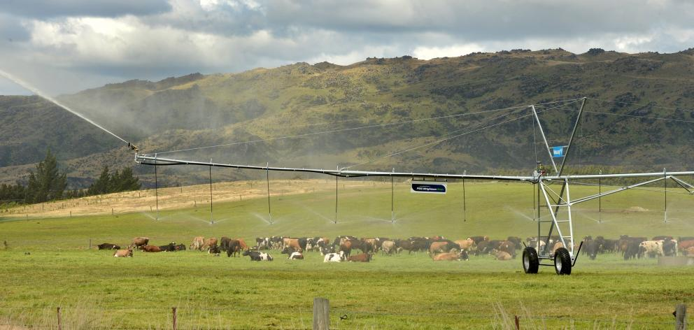 Application of water allows dairy cows to be grazed near Paerau in Central Otago. PHOTO: STEPHEN...