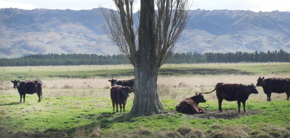 Puketoi Angus cows graze in the Maniototo.
