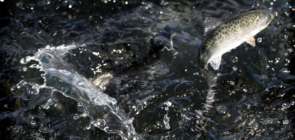 The continuing decline of wild salmon populations is concerning Fish and Game NZ and anglers, so there is to be a salmon symposium in Ashburton later this month to discuss the issue. Photo: FGNZ