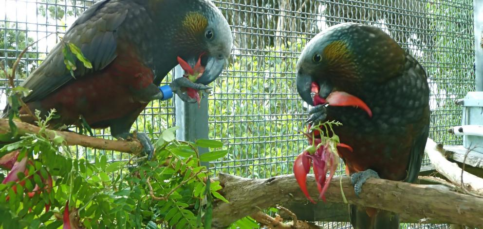 Question 10: These two birds, siblings, were hatched at Bush Haven, near Invercargill, and came...