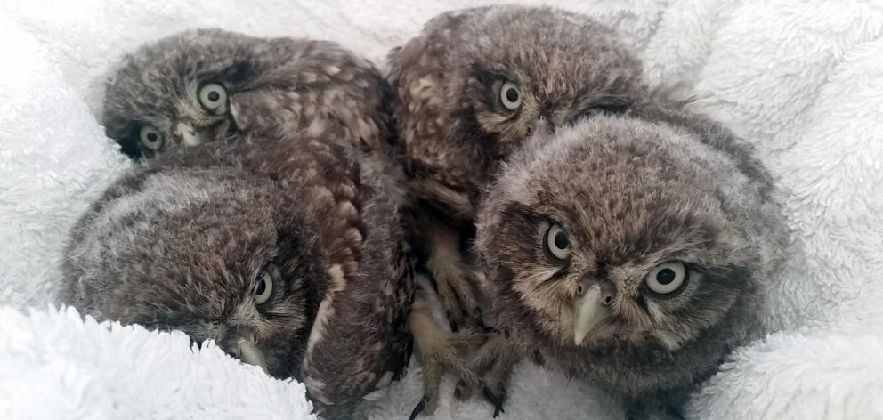 Four owlets found in a tree in the Ida Valley in November. Photo: Supplied
