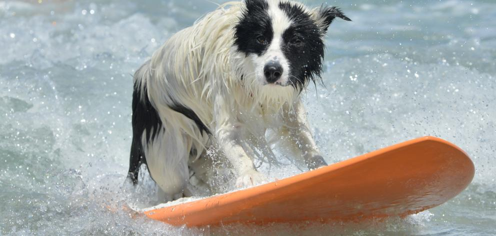 Archie does the name of his breed justice as he rides the waves at St Clair Beach yesterday....