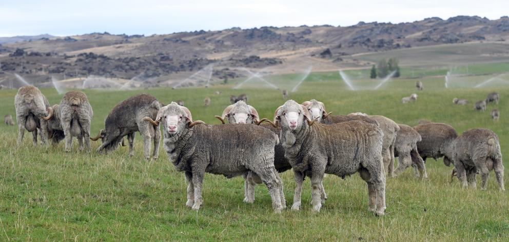 Both Otago and Southland farms are suffering from low rainfall, affecting all facets of rural life; pictured are stud merino rams on the irrigated Stonehenge Station near Paerau this month. Photo: Stephen Jaquiery