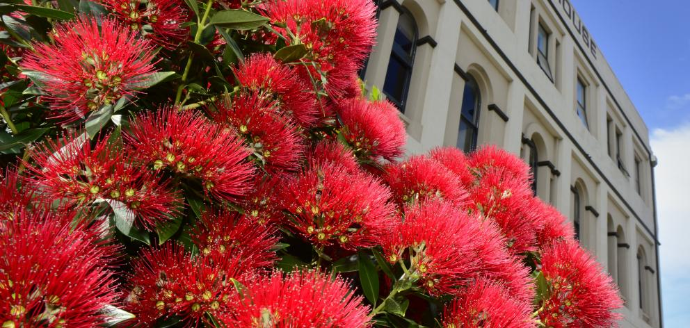 A rata in full bloom in Water St, Dunedin. Photo: Gregor Richardson