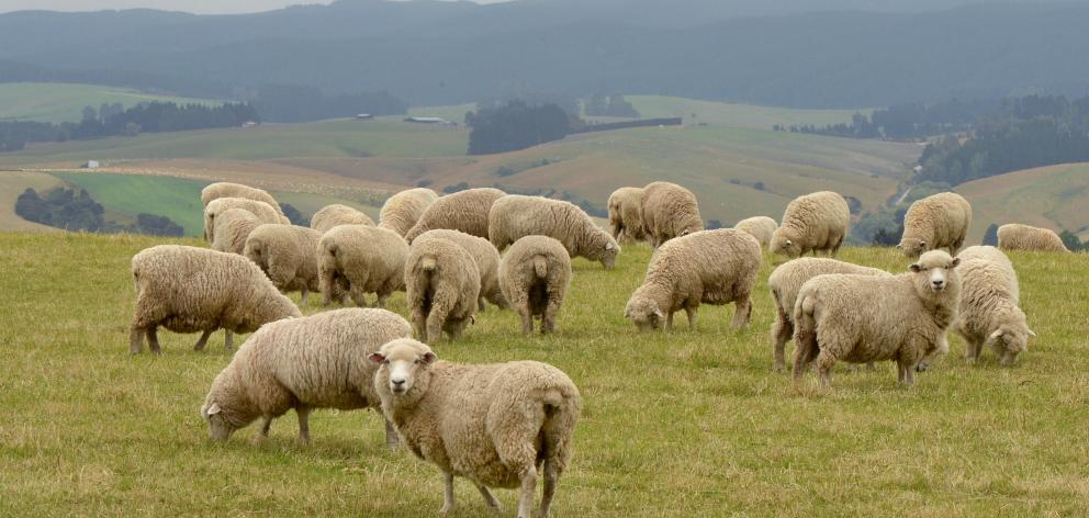 Prices for sheepmeat remain firm because of tighter supply from Australia and New Zealand. Photo: Stephehn Jaquiery.