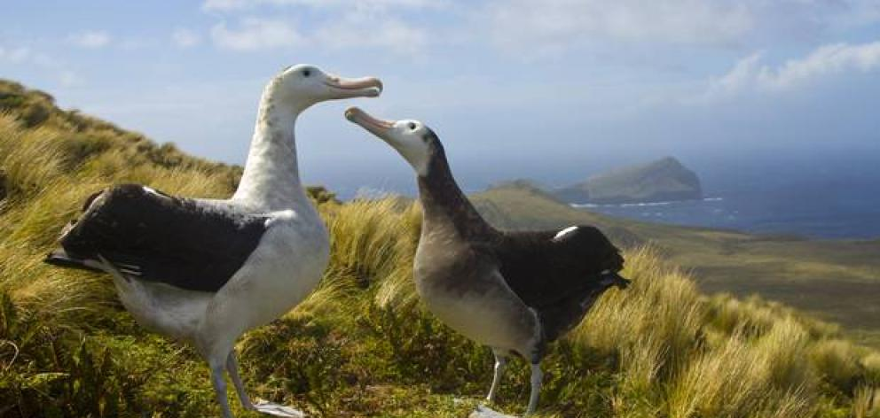 The critically endangered Antipodean wandering albatross on Antipodes Island. Photo: NZ Herald / James Russel