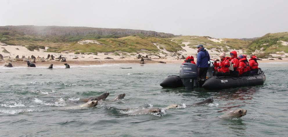 Female New Zealand sea lions follow a zodiac on a slow cruise past harems staked out by...