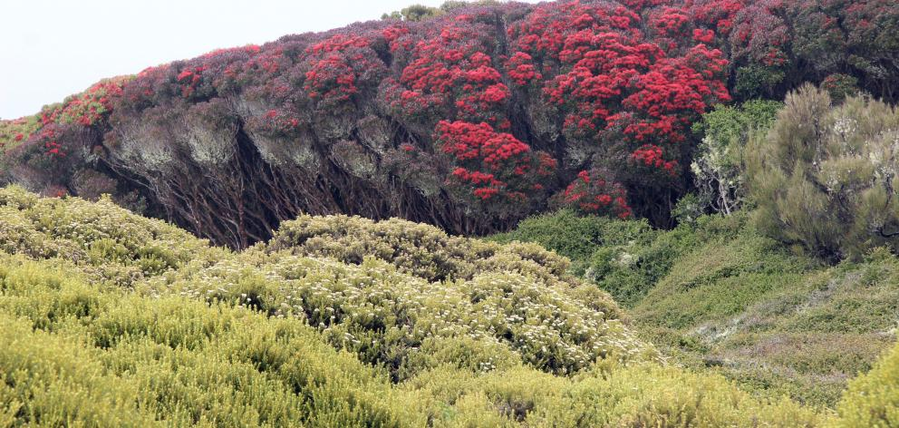 Coastal rata forest near the peak of blooming in January.