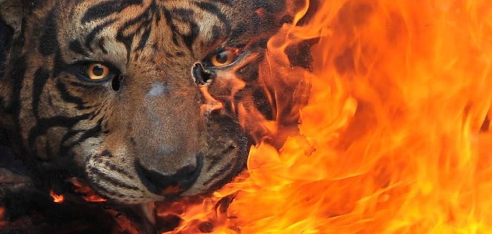 Evidence of preserved tigers burned for destruction at the Office of Natural Resources Conservation in Palembang, Indonesia. Antara Foto/Feny Selly/File Photo via Reuters