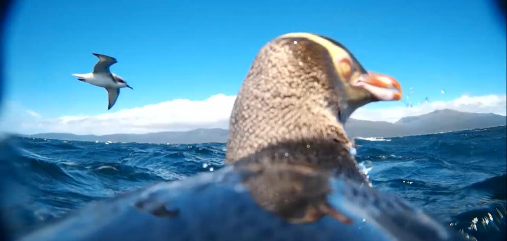 A shearwater glides past a yellow-eyed penguin fitted with an underwater camera while it is at...