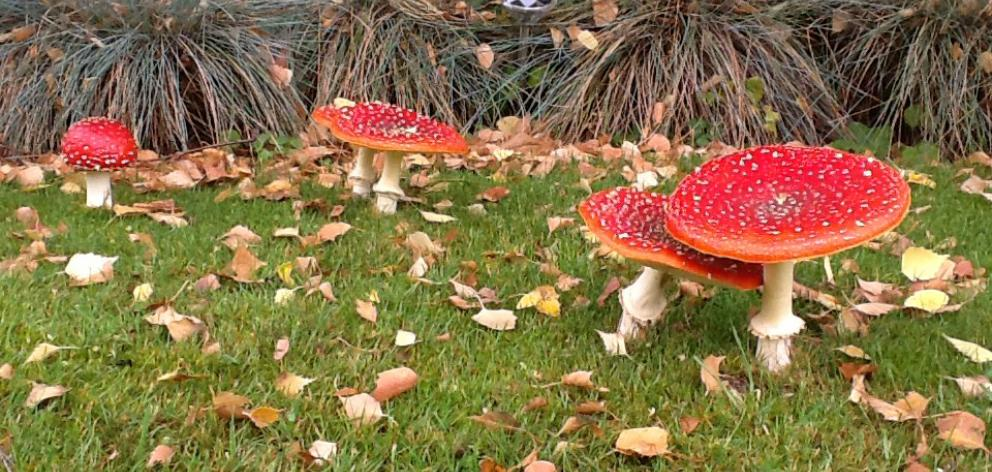 Fly agaric - Amanita muscaria - spreading across the lawn in Wanaka. PHOTO: KEITH BARCLAY