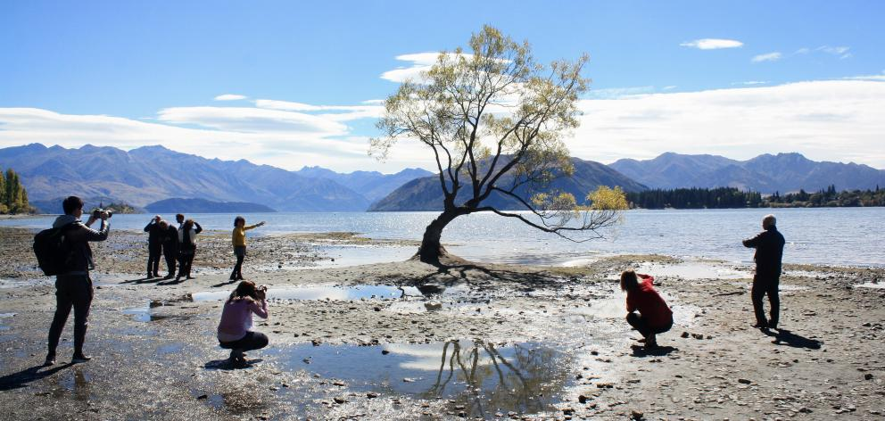 Thousands of tourists take pictures of the tree in Lake Wanaka each year. Photo: Tim Miller