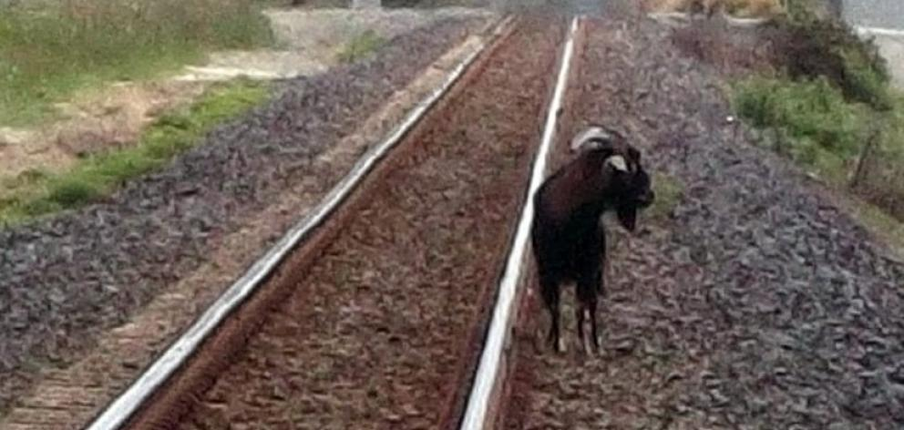 The escaped goat that was tasered by police in 2016. Photo: Stephen Carter