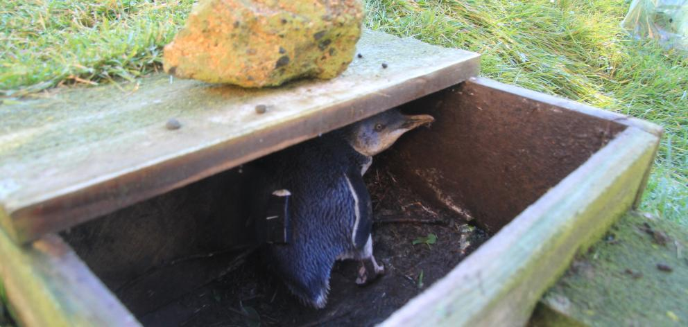 This little penguin, known at the Oamaru Blue Penguin Colony as 47211, is fitted out with a...