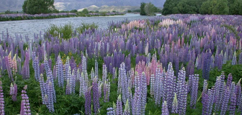 Lupins at present blooming by the thousands in the Ahuriri River with mountains in the background are stopping travellers on State Highway 8 near Omarama to take photographs and videos of the display. Photo: ODT file