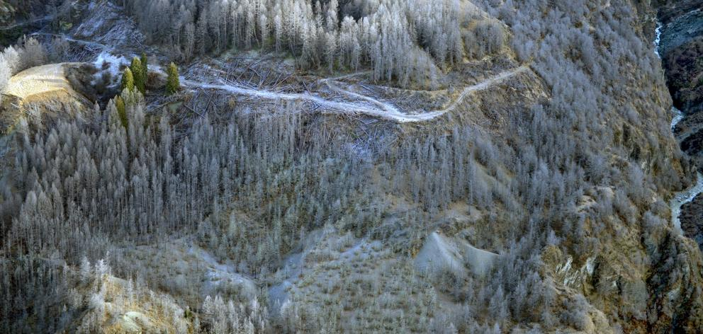Sprayed wilding pines die off in the upper Shotover River gorge in this 2014 photograph. Photo: ODT