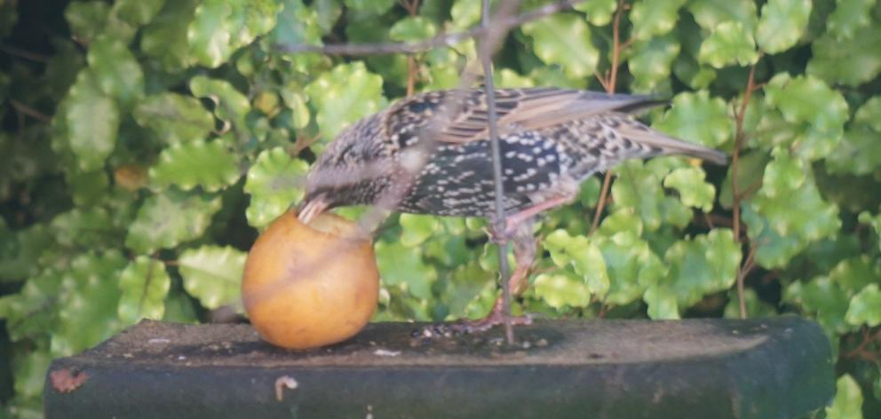 A starling hanging out in Dorothy O'Donnell's garden, having scared away the silvereyes. PHOTO:...