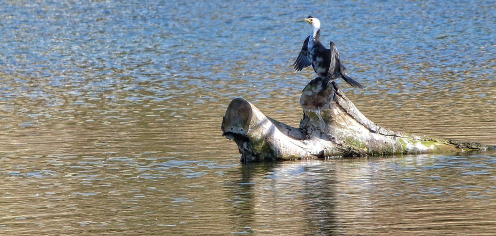 A shag rests on a log near Oamaru. Photo: Dororthy O'Donnell