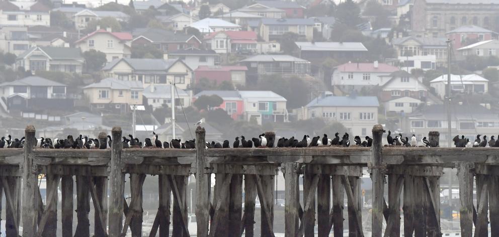 Otago shags gather on Sumpter Wharf, in Oamaru Harbour. Photo: Stephen Jquiery