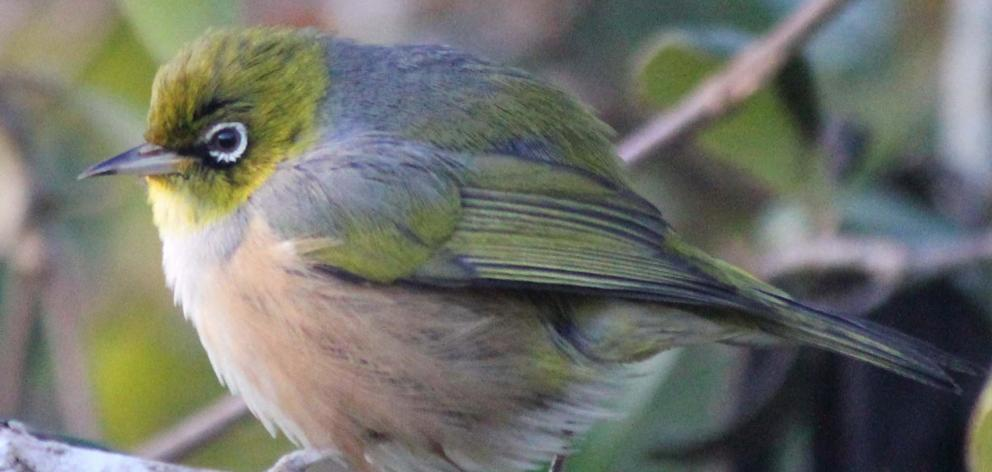 They breed 'em big on the Peninsula. I'm not sure how this silvereye/wax-eye gets off the ground....