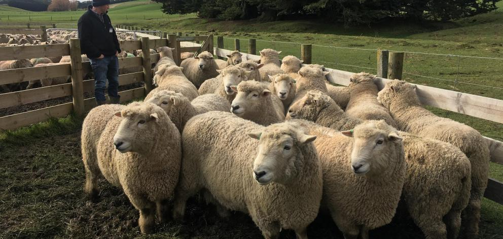 Min Bain, of Waitahuna West, inspects rams at Blair and Sally Robertson's property during a...