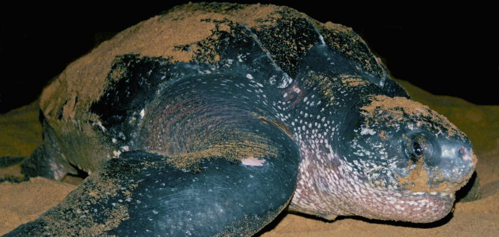 ''Leatherbacks are living fossils,'' says oceanographer Prof Callum Roberts, of York University. ...