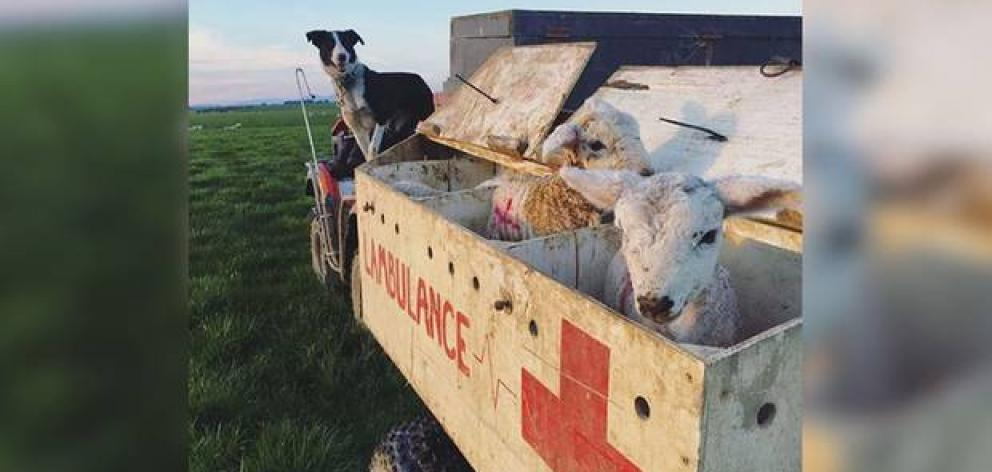 Wrey's Bush farmer Bradley Stewart came up with the crafty idea to turn one of his vehicles in an ambulance for animals as a way to transport animals around the paddock. Photo: Anna McFarlane