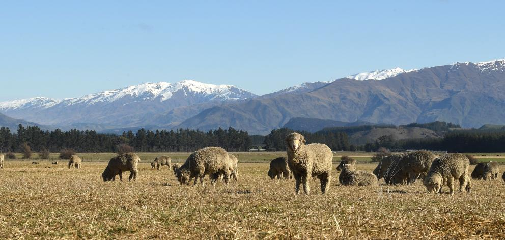 Merino sheep feed on sweet-smelling baleage during a stunning day at Hawea Flat. Photo: Stephen...