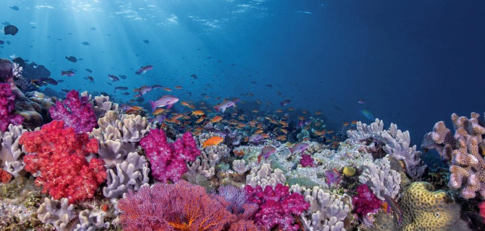 Snorkelling coral reefs in the Mamanuca Island group northwest of Denarau, Viti Levu, Fiji, is...
