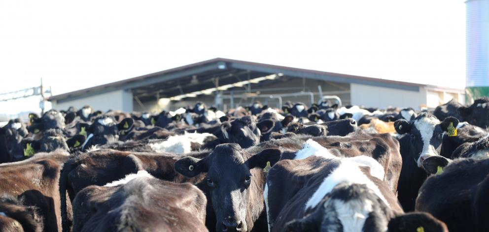 Favourable weather has boosted dairy production in the early stages of the season. Photo: Christine O'Connor