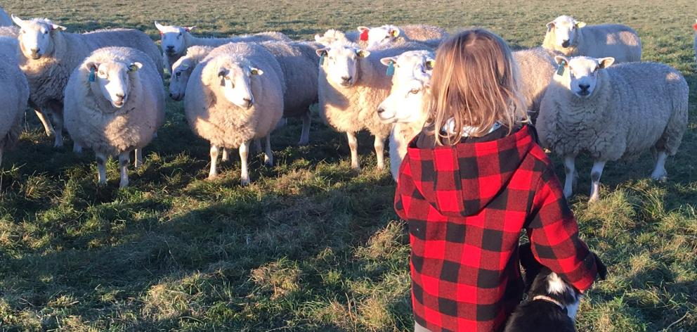 Emmie Paterson (6) inspects some sheep with Brian the dog. Photo: Paterson family