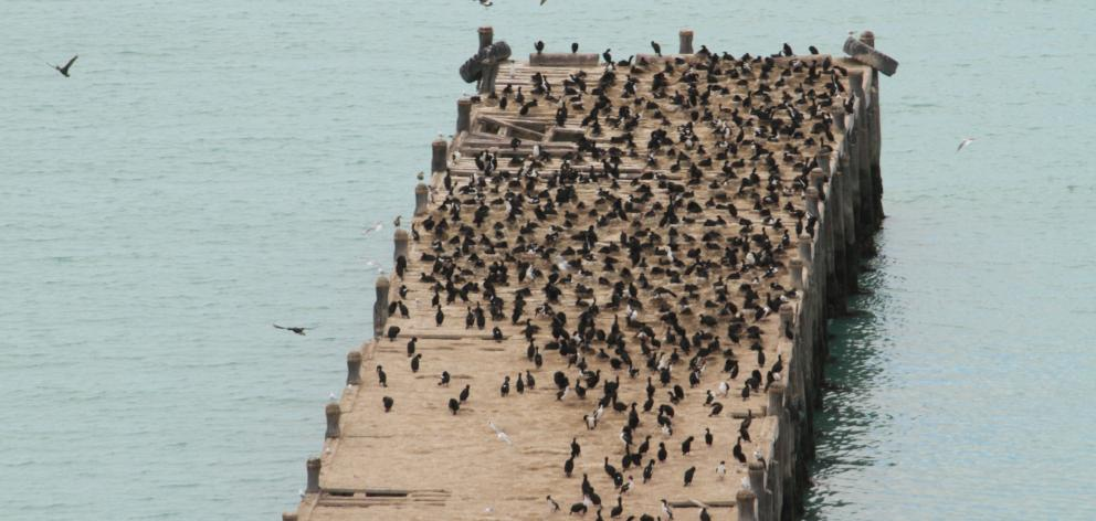 Oamaru's Sumpter Wharf is now home to probably the largest colony of Otago's only endemic seabird...