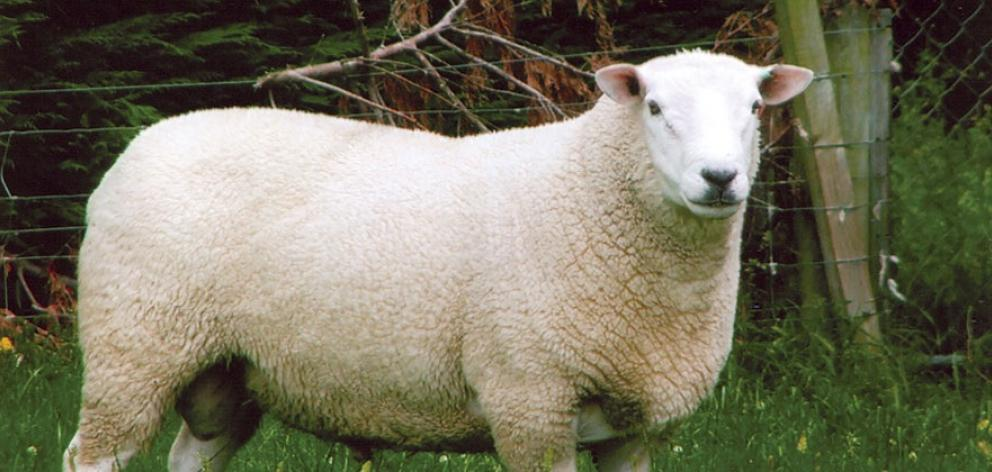 A Texel. Photo: Supplied