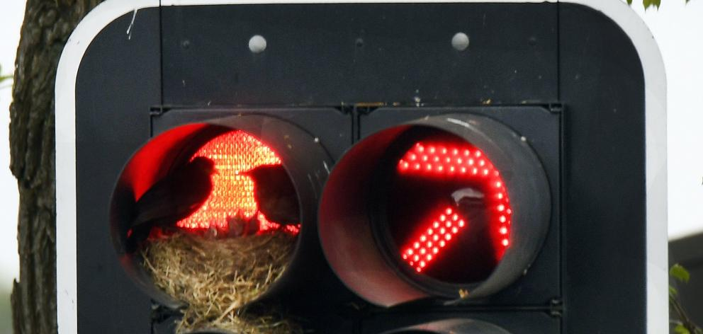 Two blackbirds care for their chicks in their nest inside a traffic light cowling in Dunedin....