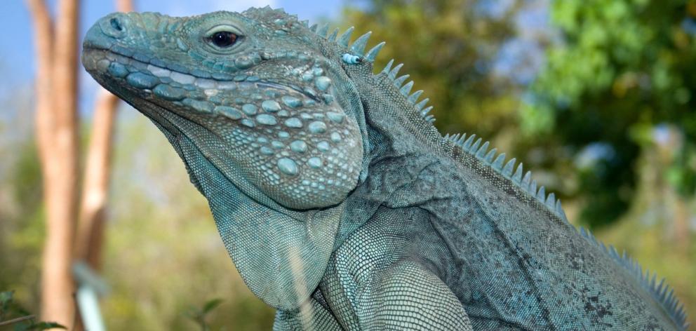 在蓝色鬣鳞蜥栖所的蓝色鬣鳞蜥。