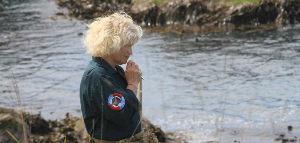 Penguin Rescue volunteer Jan Carter, of Shag Point, checks nests for chicks. Before the breeding...