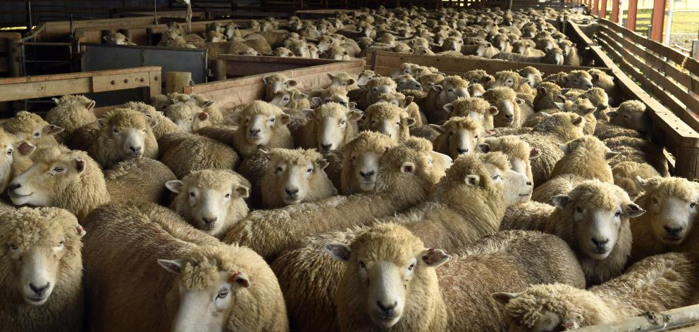 New uses are being investigated for coarse wool. Photo: ODT