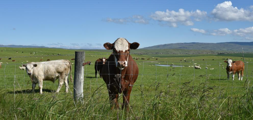 Cattle and sheep take in the sun and lush green pastures near Ranfurly yesterday afternoon. Photo...