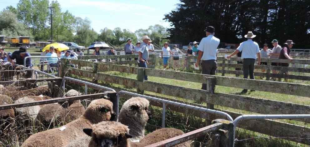 This year's Black and Coloured Sheep Breeders' Association of New Zealand national sale will again be held outdoors at the Waimate showgrounds. Photo: Sally Brooker