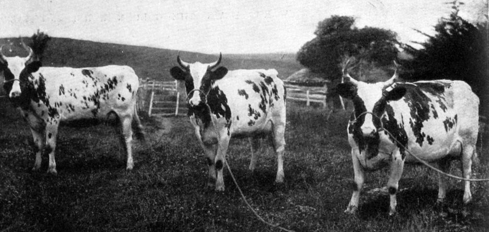 彼得·爱尔兰先生的艾尔郡先生在Waitati和Waikouaiti展出。左起:一等奖三岁牛奶和储备冠军;牛和两个后代的一等奖;牛奶中的头奖和冠军牛。 -  Otago Witness,19.2.1919。