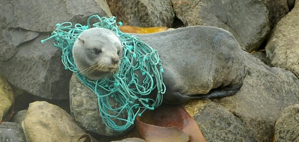 A 2-year-old fur seal caught in a fishing net at Moeraki. Photo: Peter McIntosh