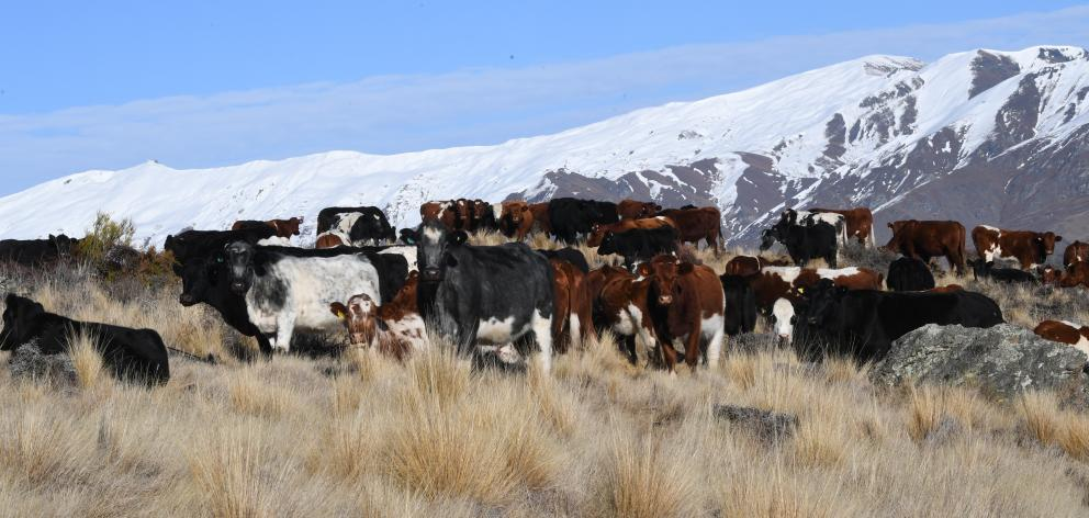 Cattle gather to eat baleage near Cardrona, in Central Otago.