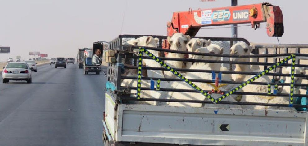 Camels ride in the back of a ute on the highway. Photo: Deborah Heron