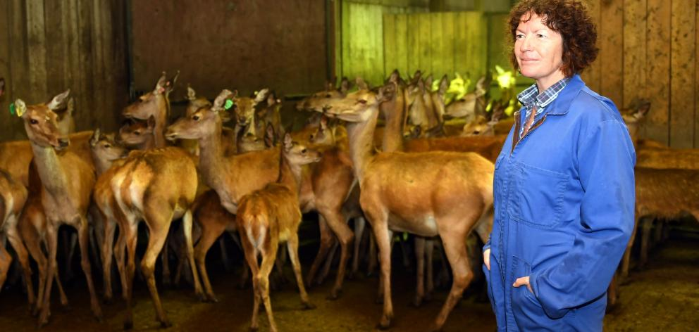 Deer AI technician Lynne Currie is at home in the deer shed. PHOTO: STEPHEN JAQUIERY